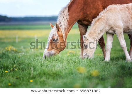 horses and foal grazing on pasture Stock photo © Mikko