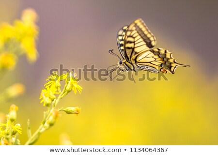 Orange Yellow and Black Butterfly Stock photo © rhamm