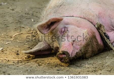 свинья · семьи · фермы · жизни · смешные · белый - Сток-фото © lianem
