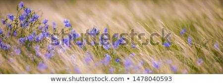 Pétrolières semences champ de fleurs jaune ciel herbe Photo stock © vichie81