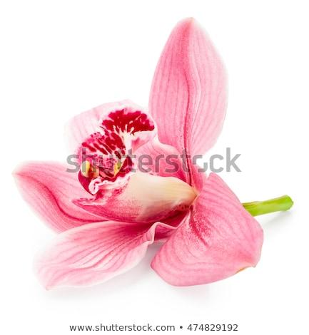 rosa · orquídea · isolado · branco · verão · belo - foto stock © tetkoren