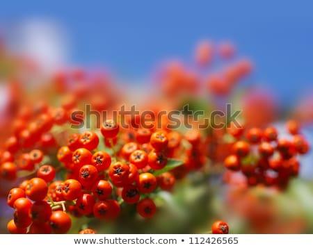 jagody · pozostawia · czerwony · świeże · zielone · liście · Błękitne · niebo - zdjęcia stock © juhku