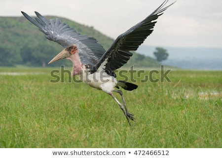 Marabou Stork in Flight Stock photo © JFJacobsz