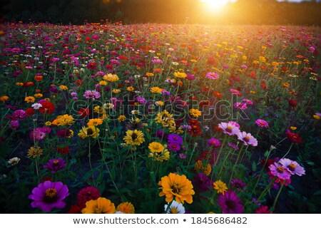 Lumineuses coloré jardin fleurs rose Photo stock © pixachi