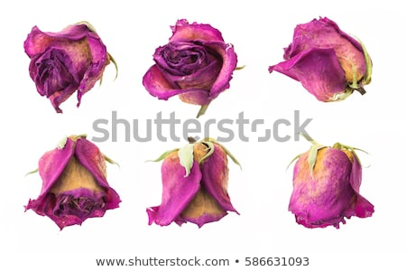 Withered dried roses Stock photo © Valeriy