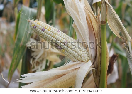 Maize cob ear on stalk Stock photo © stevanovicigor