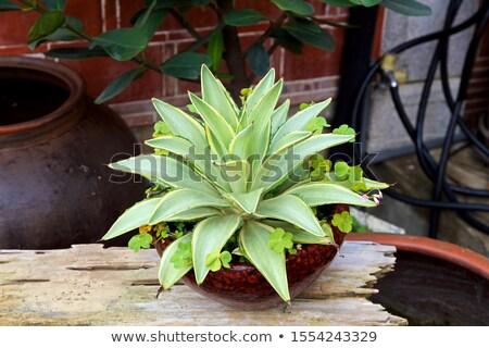 Agavé illusztráció háttér növény rajz kaktusz Stock fotó © bluering