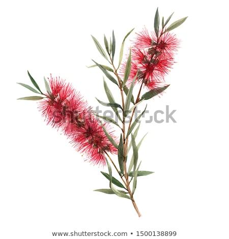 ボトル · ブラシ · 低木 · 家族 · オーストラリア - ストックフォト © Imagecom