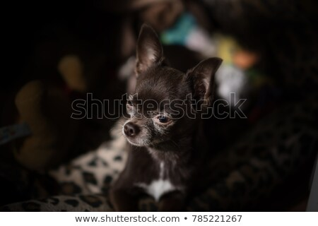 ugly chihuahua sitting in a dark studio Stock photo © vauvau