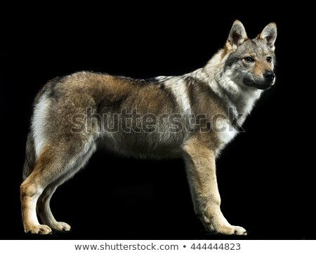Czech wolf standard in black studio background Stock photo © vauvau