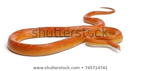 corn snake in studio Stock photo © cynoclub
