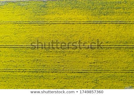 Cultivado campo plantación violación Foto stock © stevanovicigor
