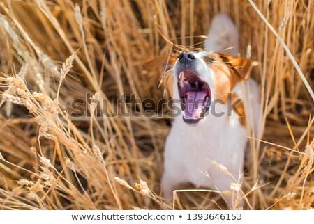 Kutya ugrik búzamező természet energia állat Stock fotó © IS2