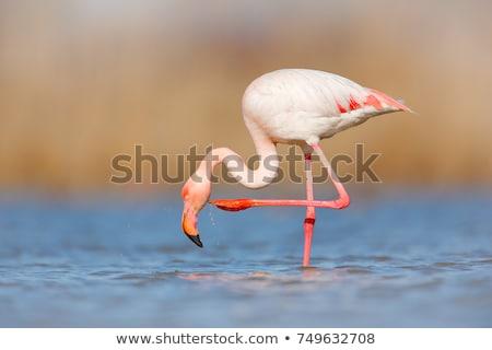Stock photo: Beautiful flamingos birds in lake water. Spain