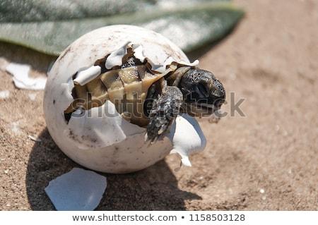 Kaplumbağa yumurta kum örnek arka plan sanat Stok fotoğraf © bluering
