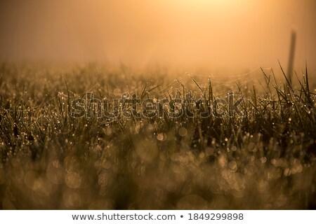 чистой · утра · свет · Полевые · цветы · луговой - Сток-фото © pashabo