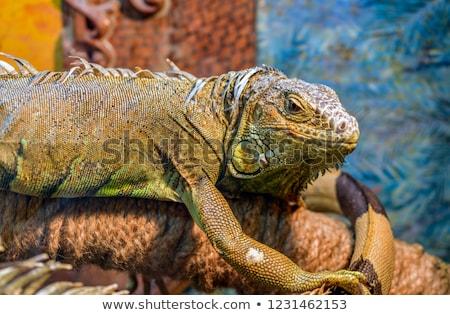 イグアナ · トカゲ · クローズアップ · 背景 - ストックフォト © galitskaya