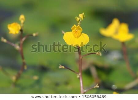 Virág vízi szépség szín növény gyönyörű Stock fotó © boggy