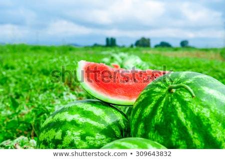 Watermelon or melon planting in field and farmer Stock photo © simazoran