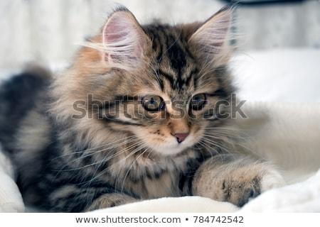adorable · mullido · gato · gatito · ojos · azules · blanco - foto stock © catchyimages