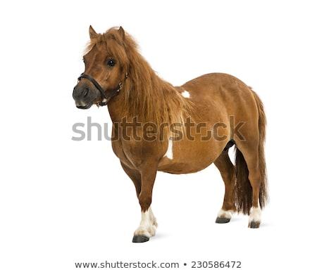 Stock photo: Shetland pony on white background