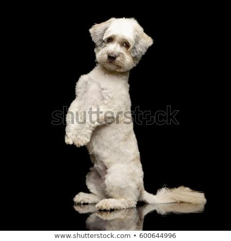 Aanbiddelijk gemengd ras hond permanente twee Stockfoto © vauvau