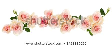 Stock photo: Fresh Roses Border