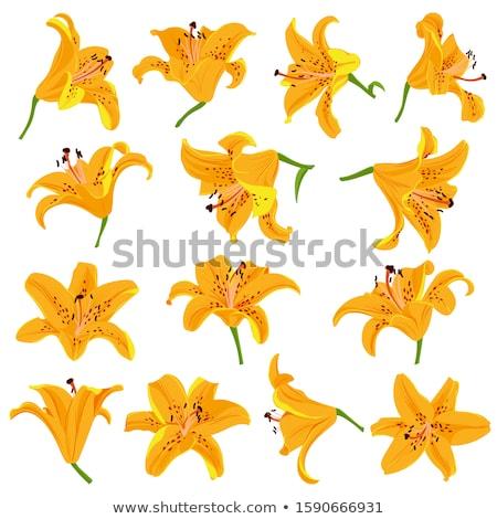 Laranja tigre lírio flor brilhante Foto stock © peterveiler