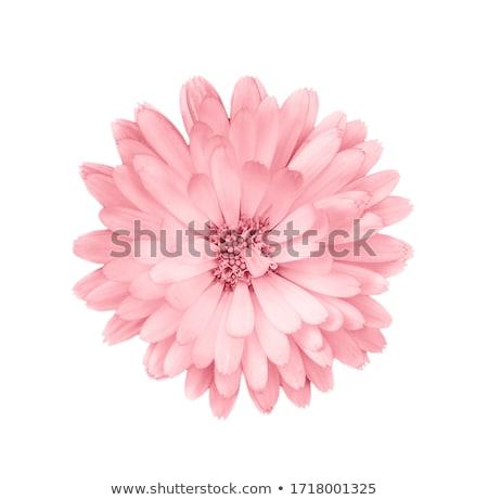 One pink flower isolated on white background stock photo © boroda