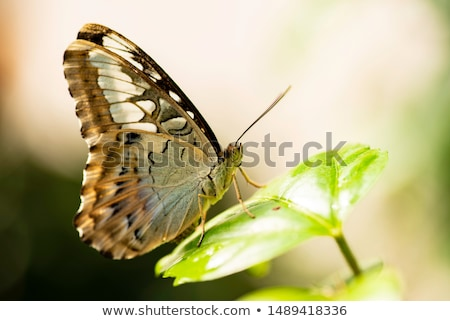 The Clipper (Parthenos sylvia) Stock photo © Beaust