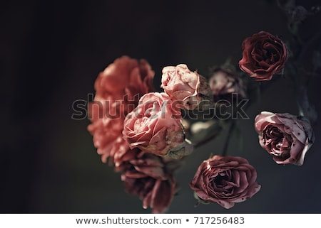 dark rose Stock photo © dolgachov