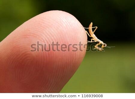 Praying Mantis (Mantodea) Nymph Stock photo © gabes1976