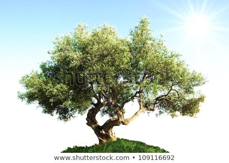 Olive Trees on Grass Hill Stock photo © iTobi
