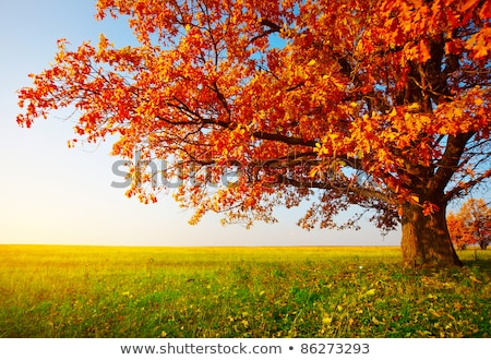 Dąb jesienią dąb żółty drzewo proste Zdjęcia stock © vavlt