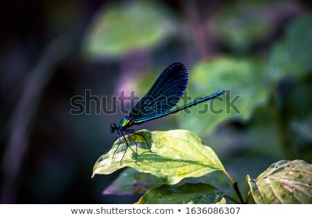 blue dragonfly sitting on a leaf stock photo © thomaseder