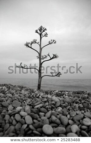 agave tree on a rolling stone beach Stock photo © lunamarina