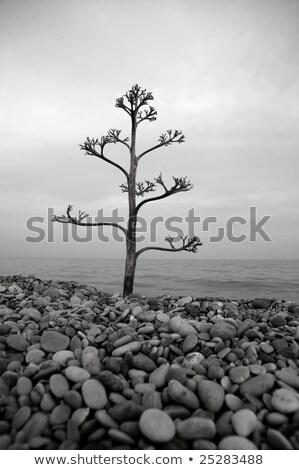 agave tree on a rolling stone beach stock photo © lunamarina