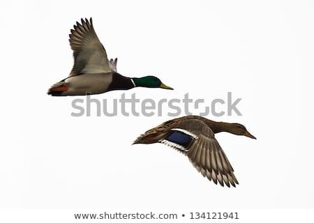 ストックフォト: Ducking Isolated On White - Mallard