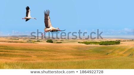 Gólya repülés zöld mezők fehér repülés Stock fotó © taviphoto