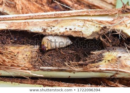 Kırmızı palmiye yalıtılmış beyaz panoramik böcek Stok fotoğraf © prajit48