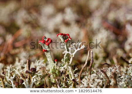 Cladonia borealis lichen stock photo © tainasohlman