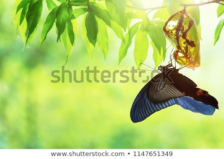 Butterfly Emerging From a Cocoon Stock photo © rhamm