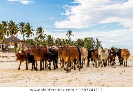 naar · vee · groep · nieuwsgierig · landschap · koe - stockfoto © phila54