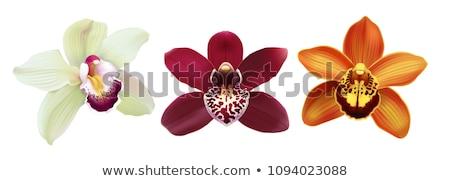 witte · bruin · orchidee · bloem · geïsoleerd - stockfoto © stocker