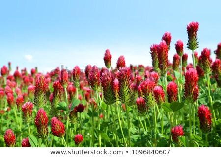 Bíbor lóhere virág gyönyörű virágmező virágok Stock fotó © digoarpi