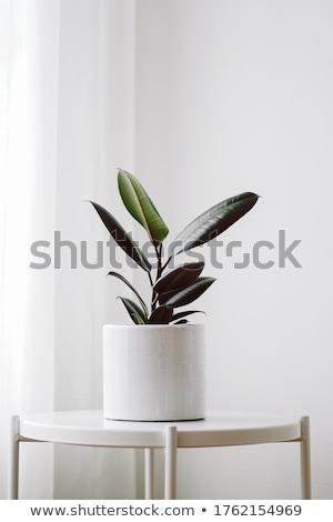 Goma planta gotas a rayas vaina rústico Foto stock © zhekos