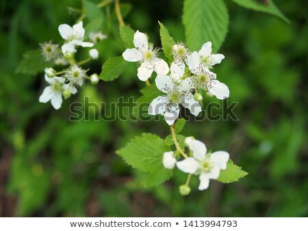 Raspberry Blossom  Stock photo © brm1949