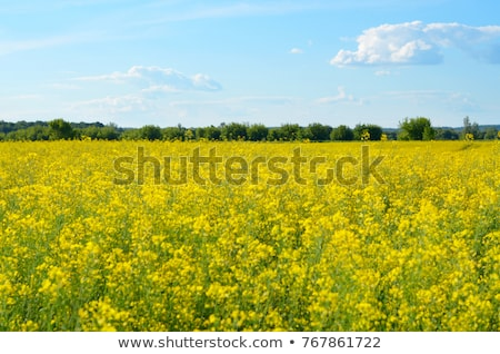 beautiful flowering rapeseed field under blue sky stock photo © mikko