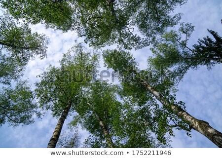 nice summer birch forest background stock photo © mikko