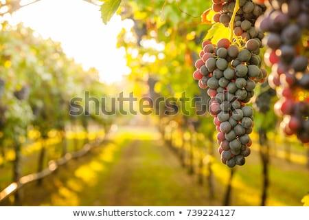 Grapevines in California  Stock photo © emattil